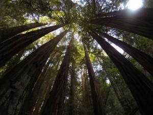 towering-trees
